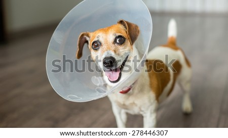 Nice cool Jack Russell terrier with vet Elizabethan collar is playing - stock photo