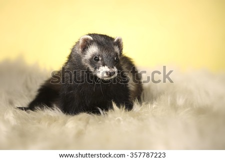 Nice dark color ferrel female - stock photo