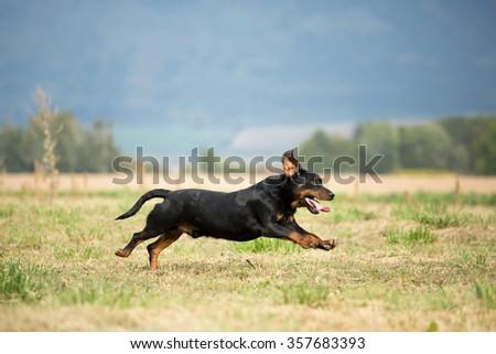 Nice Dog, breed Slovakian Hound running through a meadow - stock photo