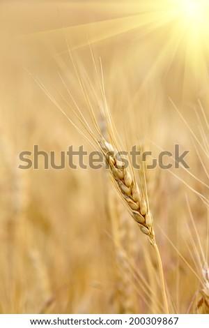 nice ear on crop field on sunshine background - stock photo