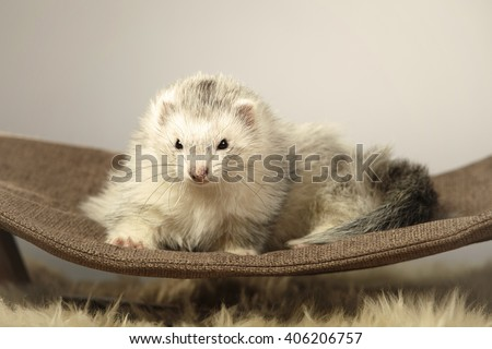 Nice ferret lady on sofa in studio - stock photo