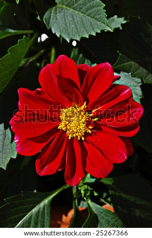 nice flower to have in the garden. very beautiful - stock photo