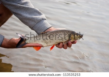 Nice freshwater chub caught on a bite - stock photo