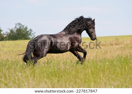 Nice friesian horse running - stock photo