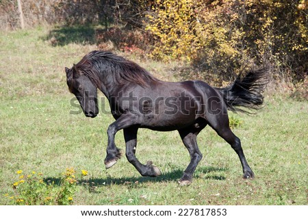 Nice friesian horse running on meadow - stock photo