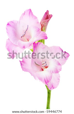 Nice Gladiolus isolated on a white. Pink - stock photo