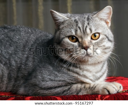 nice gray cat - stock photo