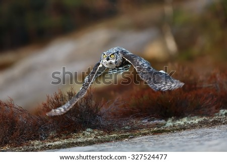 nice Great horned owl is flying - stock photo