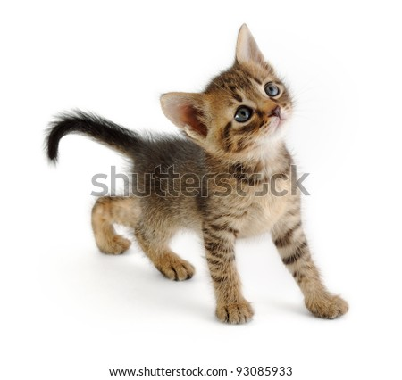 nice grey kitten looking up, very graceful, white background - stock photo