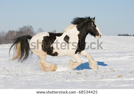 Nice gypsy horse running through snowy landscape - stock photo