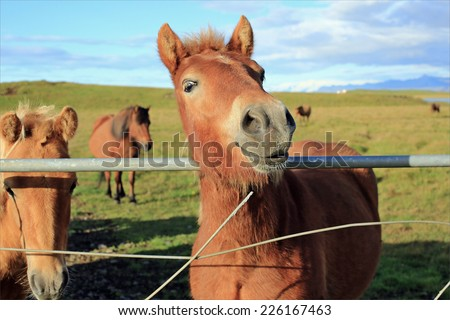 Nice horse is laughing, Iceland - stock photo