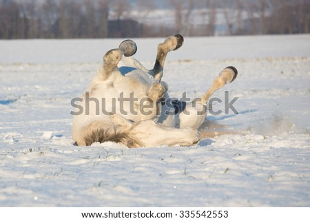 Nice horse is rolling in snow - stock photo