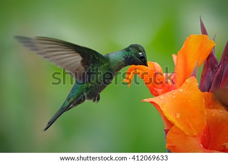 Nice hummingbird, Magnificent Hummingbird, Eugenes fulgens, flying next to beautiful orange flower with ping flowers in the background, animal in the nature habitat, Savegre, Costa Rica  - stock photo