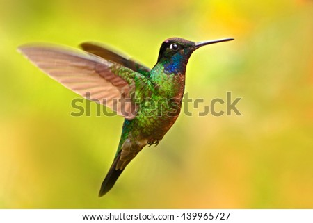 Nice hummingbird, Magnificent Hummingbird, Eugenes fulgens, flying next to beautiful yellow flower with flowers in the background, animal in the nature habitat, Savegre, Costa Rica. Rare bird in fly.  - stock photo