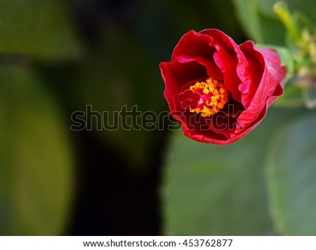 Nice image of china rose hibiscus about to bloom. Scientific name: Hibiscus rosa-sinensis - stock photo