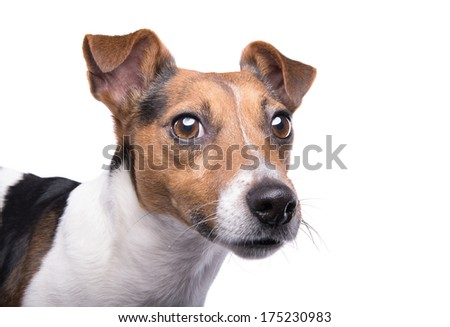 Nice Jack Russel terrier dog is isolated on a white background. Animal portrait. Playful dog is on a white background. Collection of funny animals - stock photo
