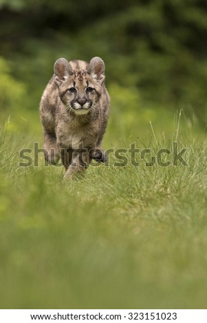 Nice little Puma cub run through the green grassland  - stock photo