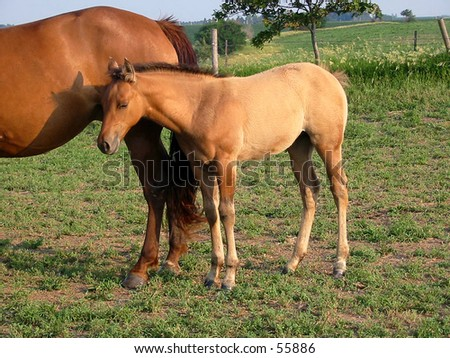 Nice looking quarter horse foal in a Midwestern pasture - stock photo