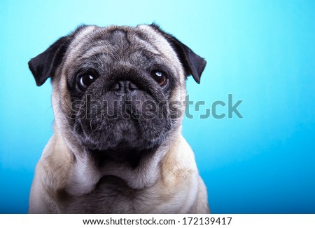 Nice mops dog is isolated on a blue background. Animal portrait. Playful dog is on a colorful background. Collection of funny animals - stock photo