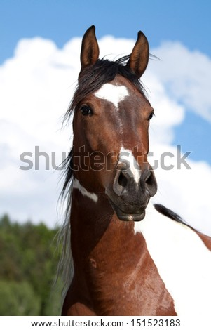Nice Paint horse posing on pasture - stock photo
