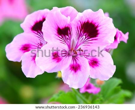 Nice pelargonia flowers - stock photo