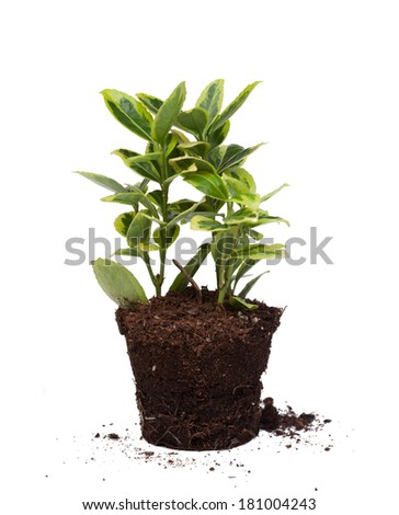 Nice plant without pot isolated on a white background - stock photo