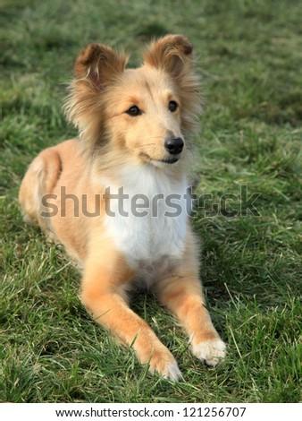 Nice posing Shetland Sheepdog on the green grass - stock photo