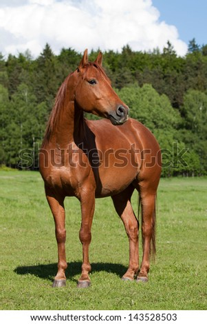 Nice Quarter horse posing on pasture - stock photo