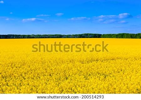 nice rape field - yellow and blue - stock photo