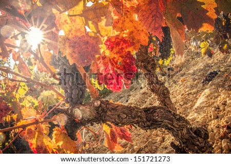 Nice red wine field in autumn. - stock photo