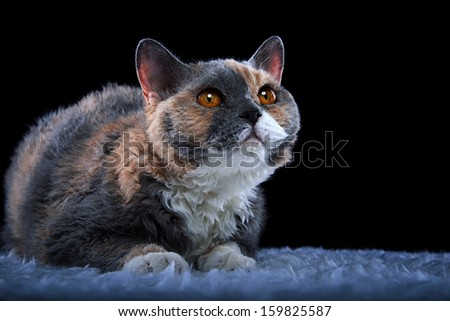 Nice Selkirk Rex cat - stock photo
