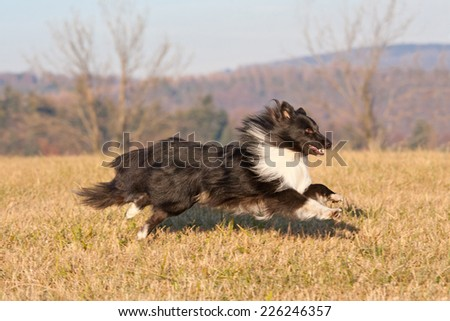 Nice sheltie running on meadow - stock photo