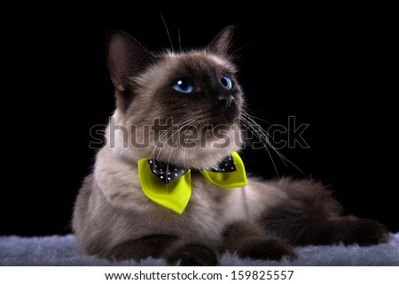 Nice Siamese cat with yellow bow-tie. - stock photo
