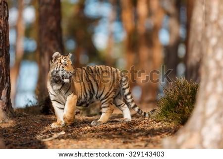nice Siberian tiger - stock photo