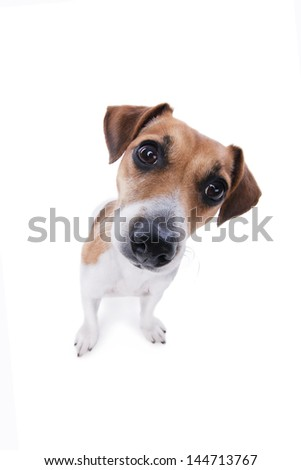 Nice Small Jack Russel terrier dog. Cute puppy with curiously looking into the camera head bent to the side. Big nose. White background. Studio shot. - stock photo