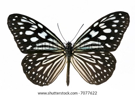 Nice tropical isolated blue spotted butterfly - stock photo