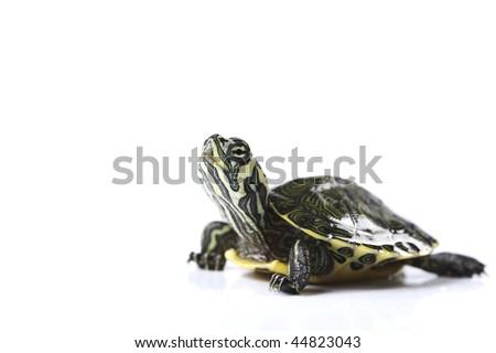 Nice Turtle isolated on white - stock photo