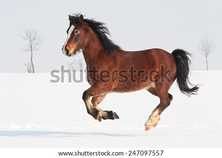 Nice welsh pony running through snowy meadow - stock photo