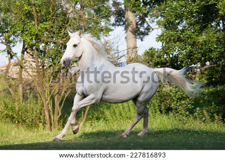 Nice white horse running - stock photo