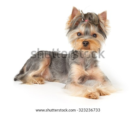 Nice Yorkshire Terrier with short hair lies on white background                               - stock photo