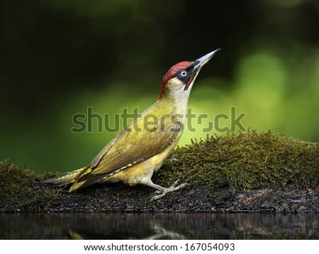 nickle [Picus viridis] - stock photo