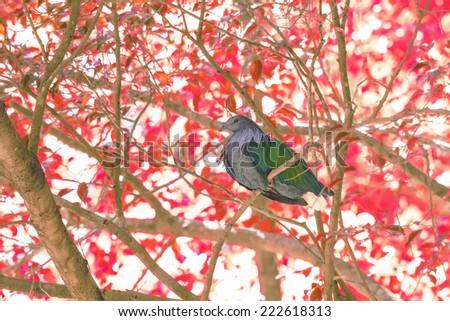 Nicobar Pigeon. Beautiful bird with fall season - stock photo