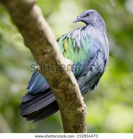 Nicobar Pigeon ,Caloenas nicobarica bird in evergreen forests - stock photo