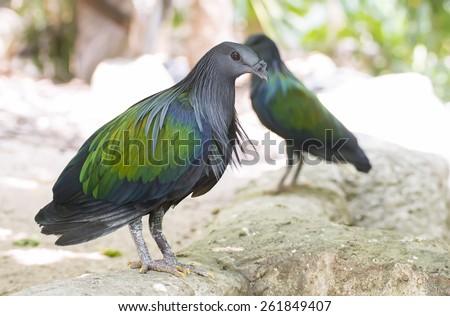 Nicobar Pigeon ,Caloenas nicobarica live in evergreen  - stock photo
