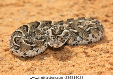 Night Adder - African Snake Background - Deadly Beauty - stock photo