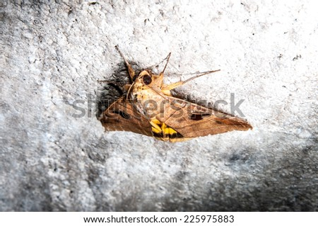 night butterfly moth - stock photo