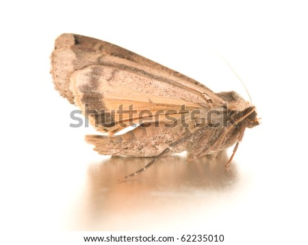 Night hawk moth isolated on the white - stock photo