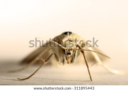 Night moth closeup - stock photo