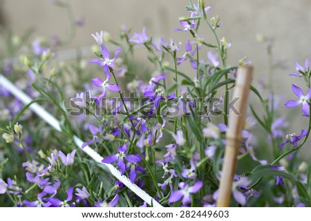 Night Scented Stock Leaves Night Scented Stock Matthiola