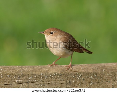 Nightingale, alighted on wooden bar - stock photo